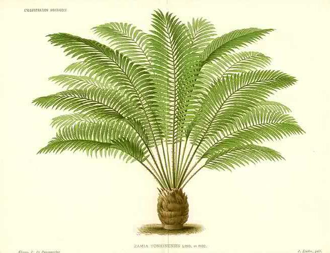 Cycads for Canada